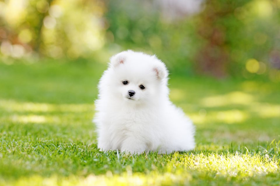 Adorable white Pomeranian puppy spitz