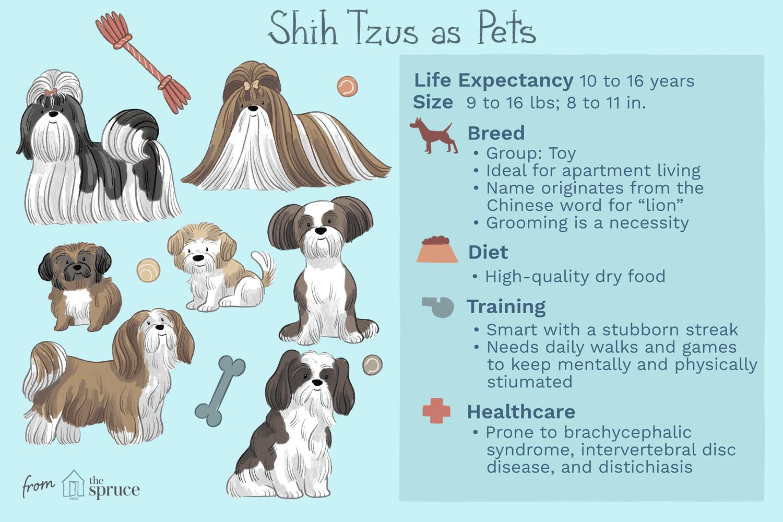 shih tzus as pets illustration