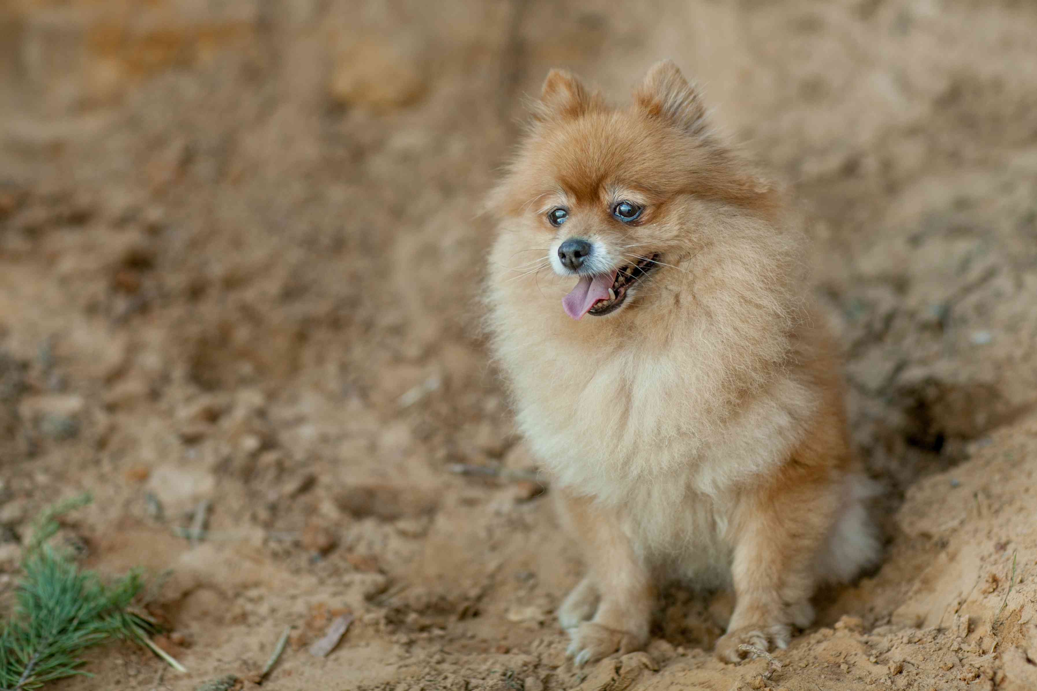 A fluffy Pomeranian sitting in the sand