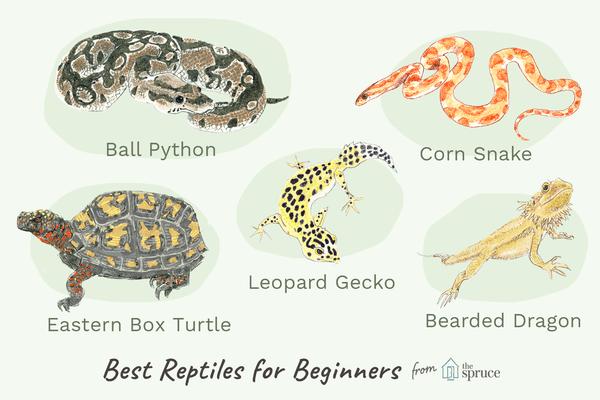 Illustration of best reptiles for beginners