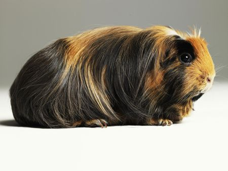 what guinea pigs need