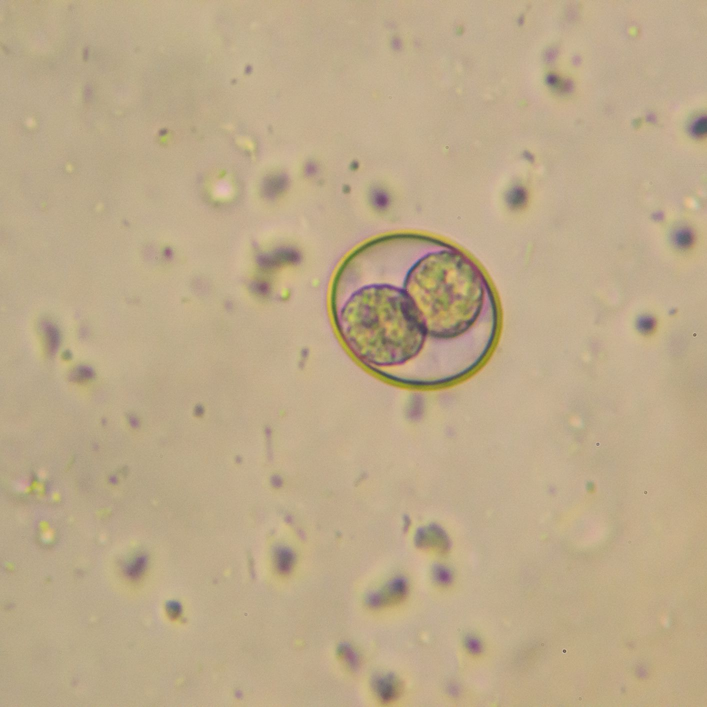 How To Treat Coccidia In Cats