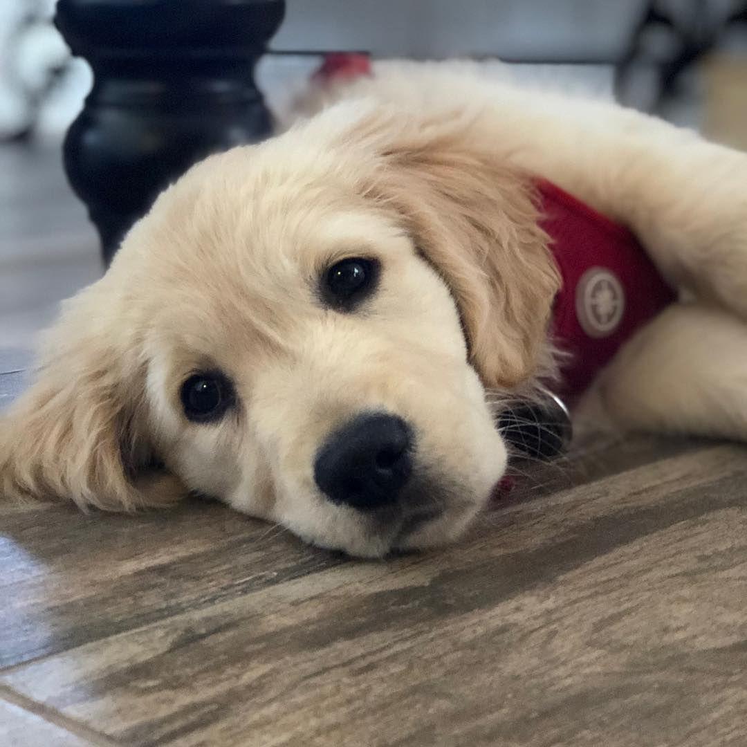 A close-up of a golden retriever puppy.