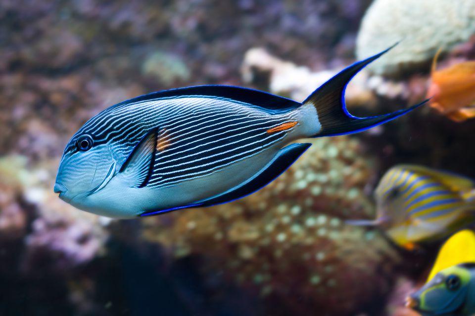Tropical fish Sohal Surgeonfish