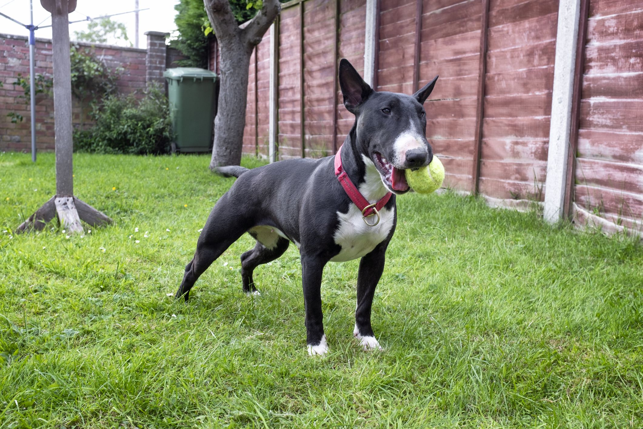 Bull terrier playing fetch