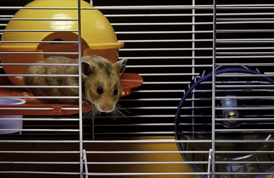 Hamster looking out from cage
