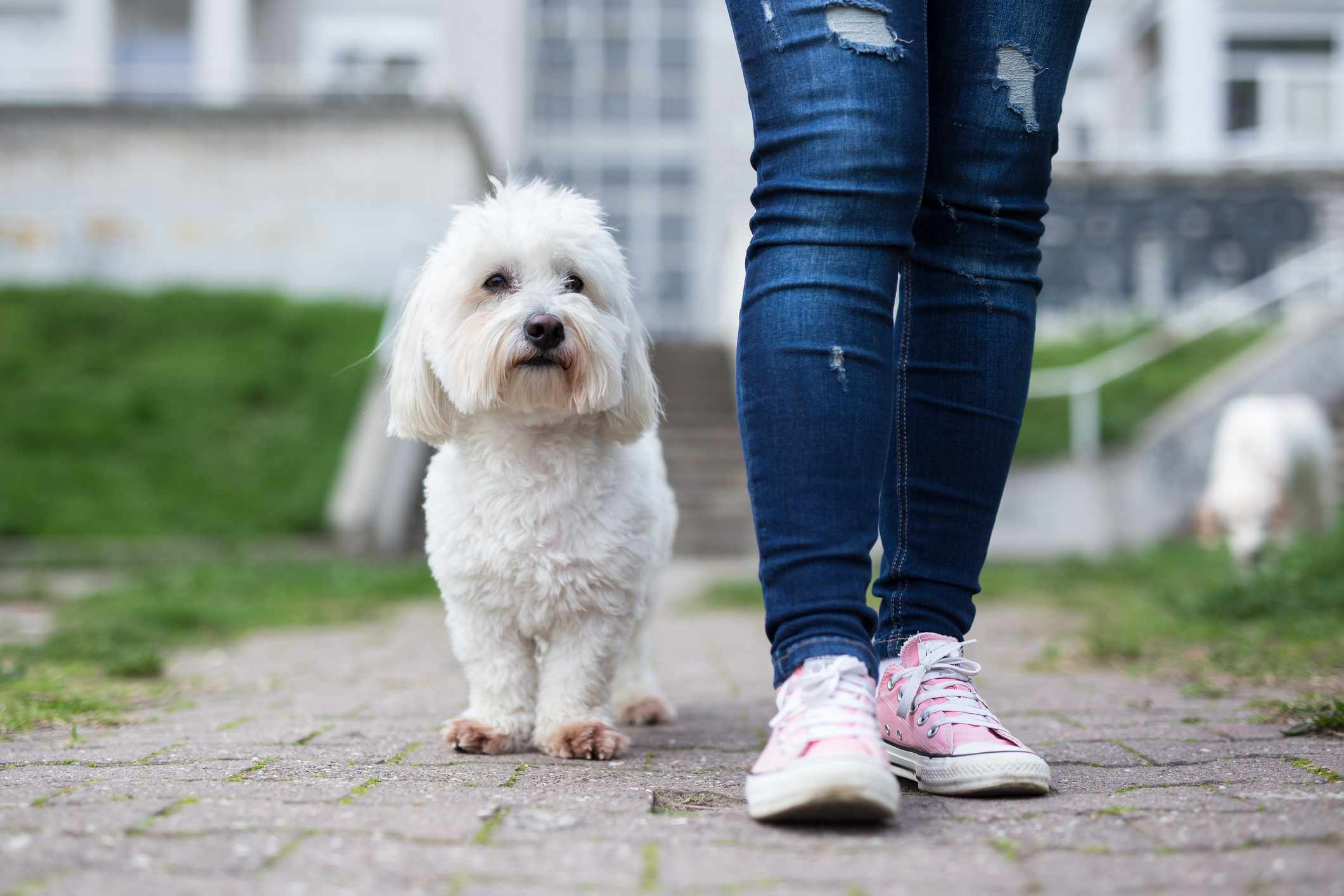A person wearing jeans and converse walking next to a white, fluffy, small dog.