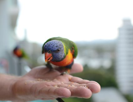 Rainbow Lorikeet eating from hand