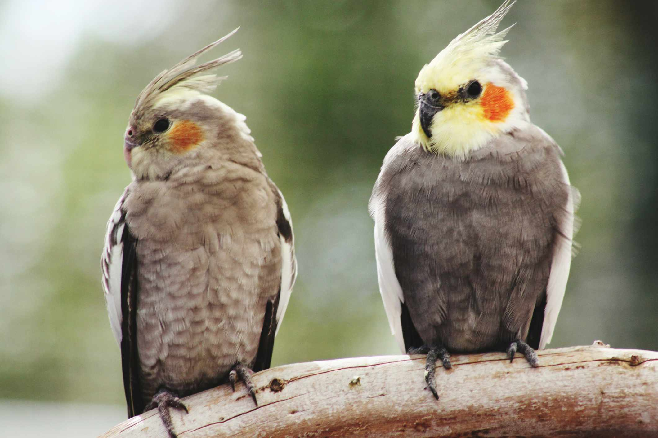 two cockatiels on a branch