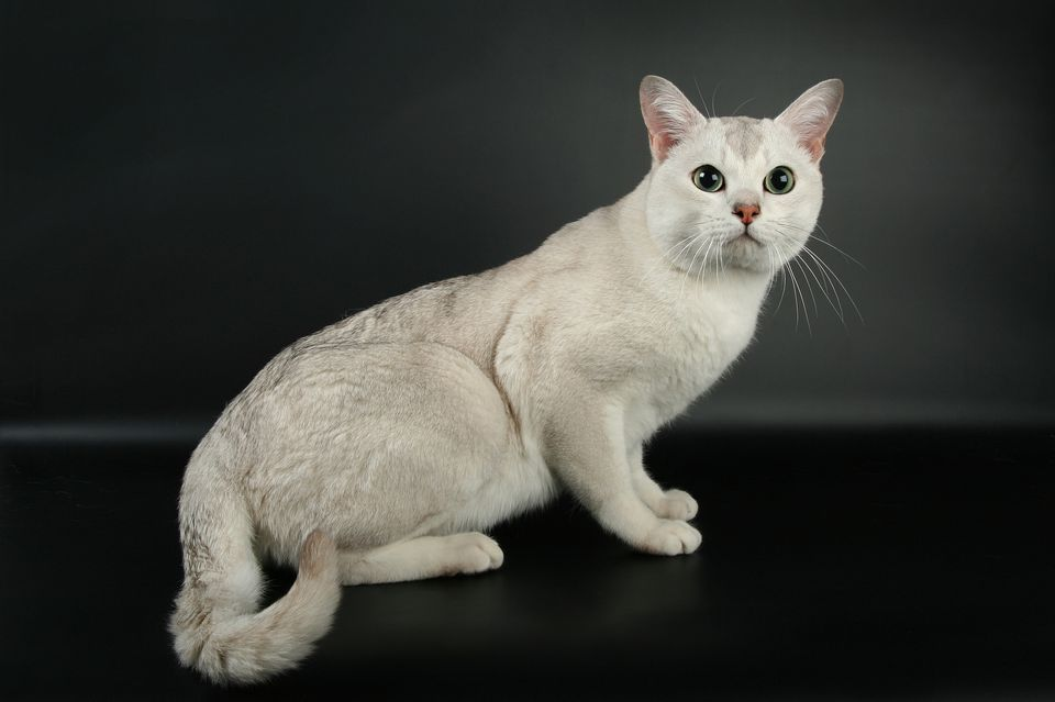 The Burmilla Cat