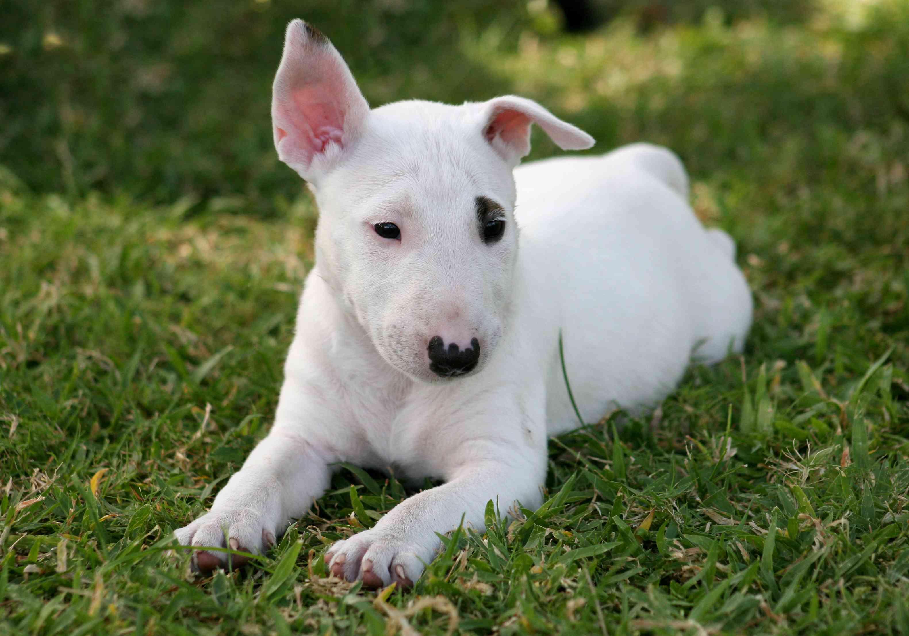 Miniature bull terrier puppy on grass
