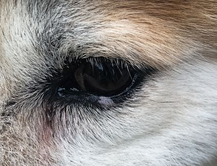 Close-up of dog eye discharge.