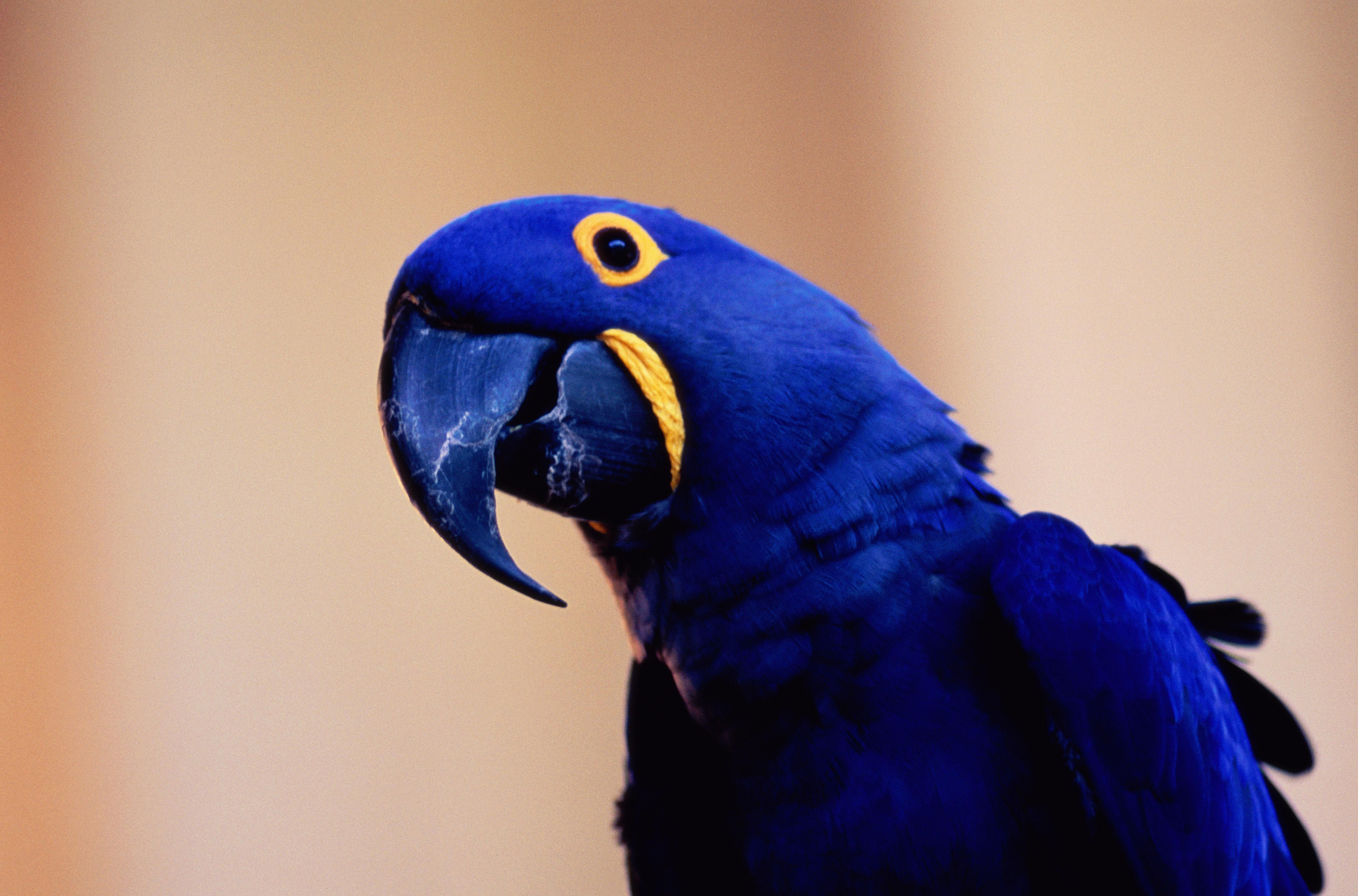 How to Care for Hyacinth Macaws (Blue Parrots)
