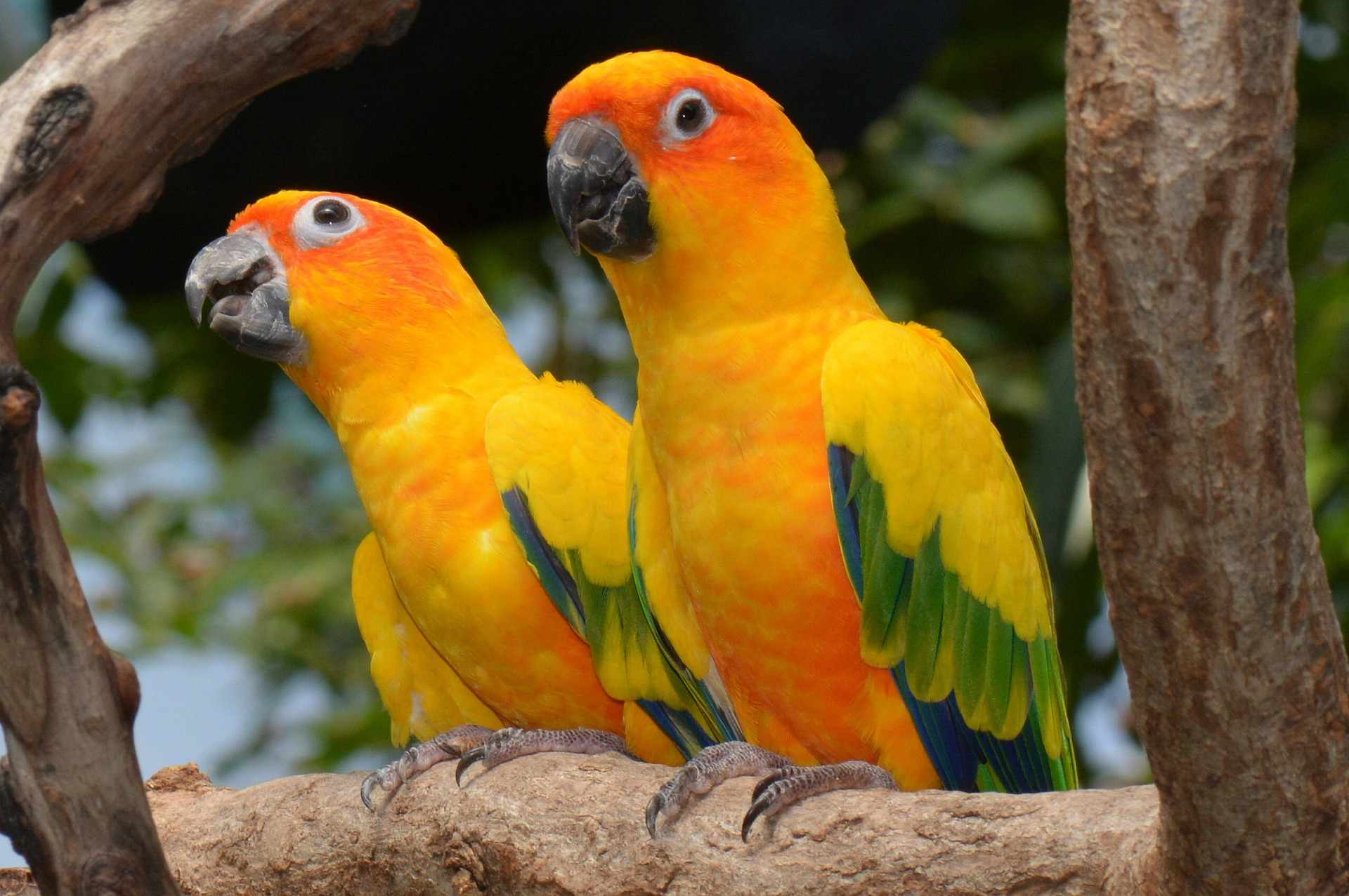 Two sun conures perched in a tree