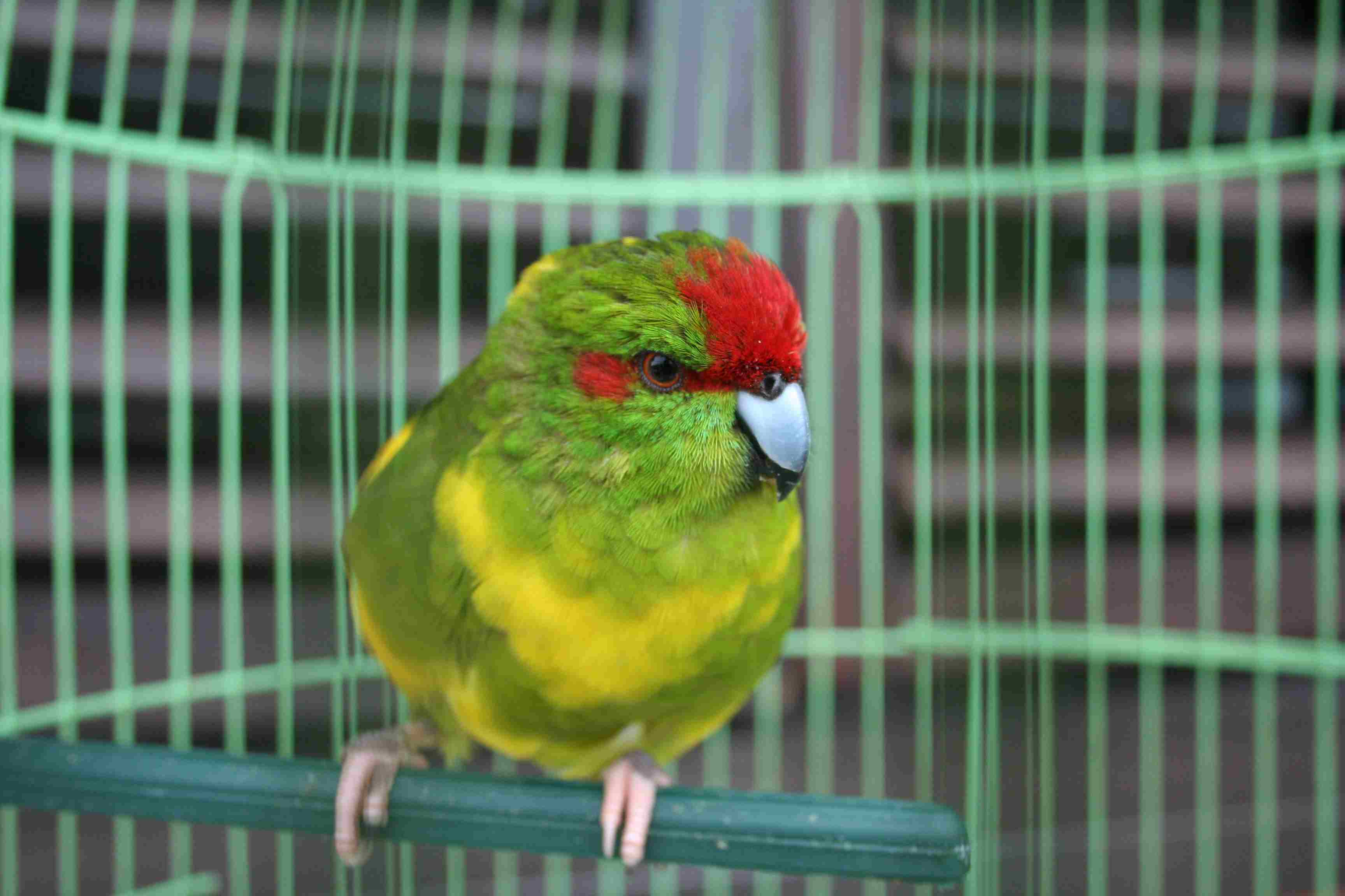 parrot perching in a cage