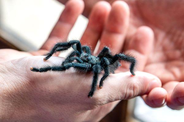 Black tarantula spider climbing person's hand closeup