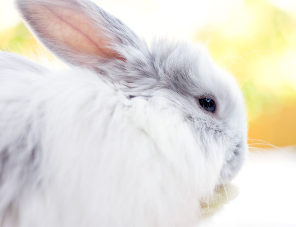 Profile of a medium hair grey and white rabbit