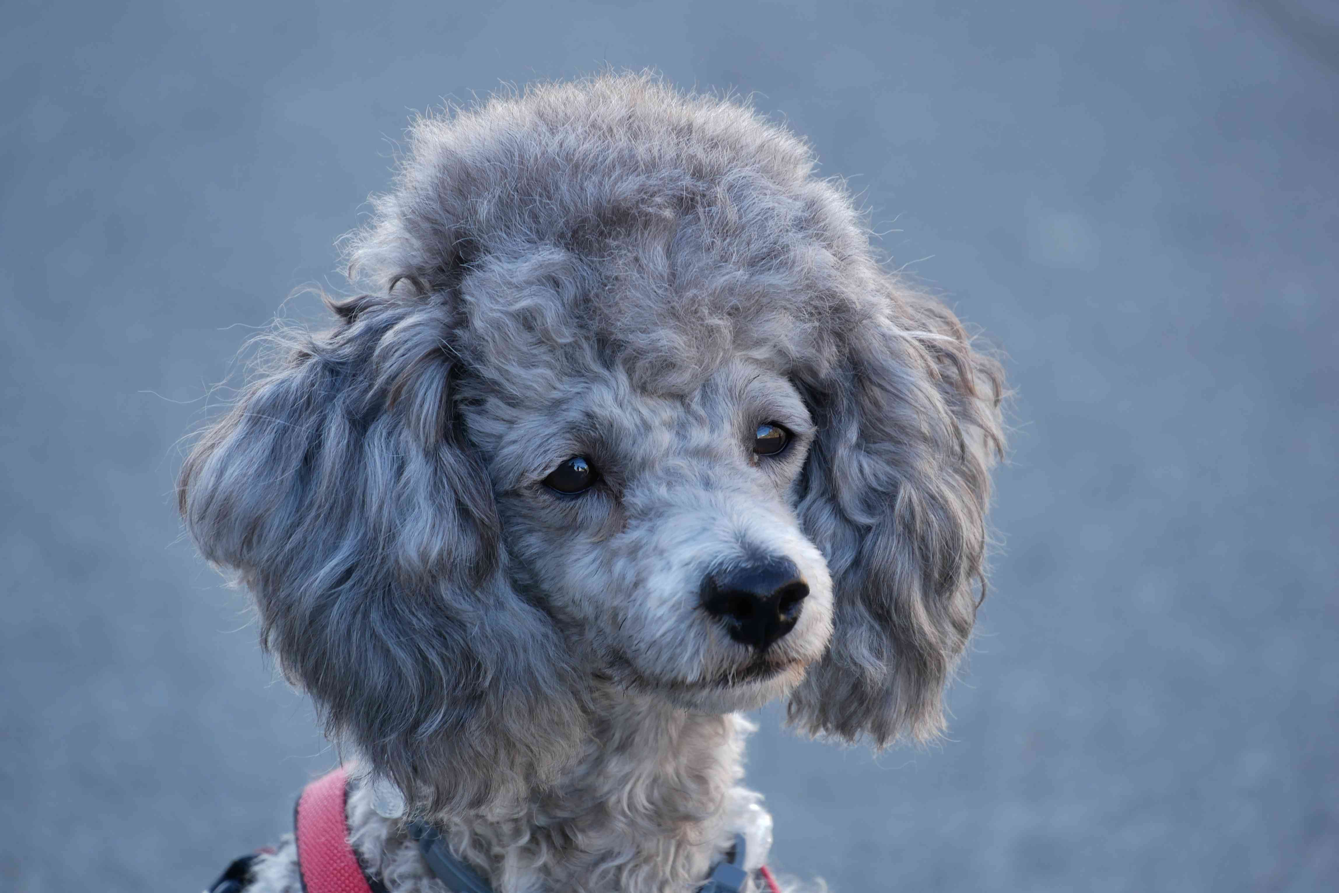 Silver Toy Poodle