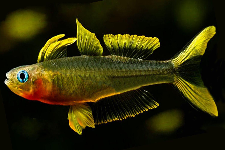 forktailed rainbow fish breed profile