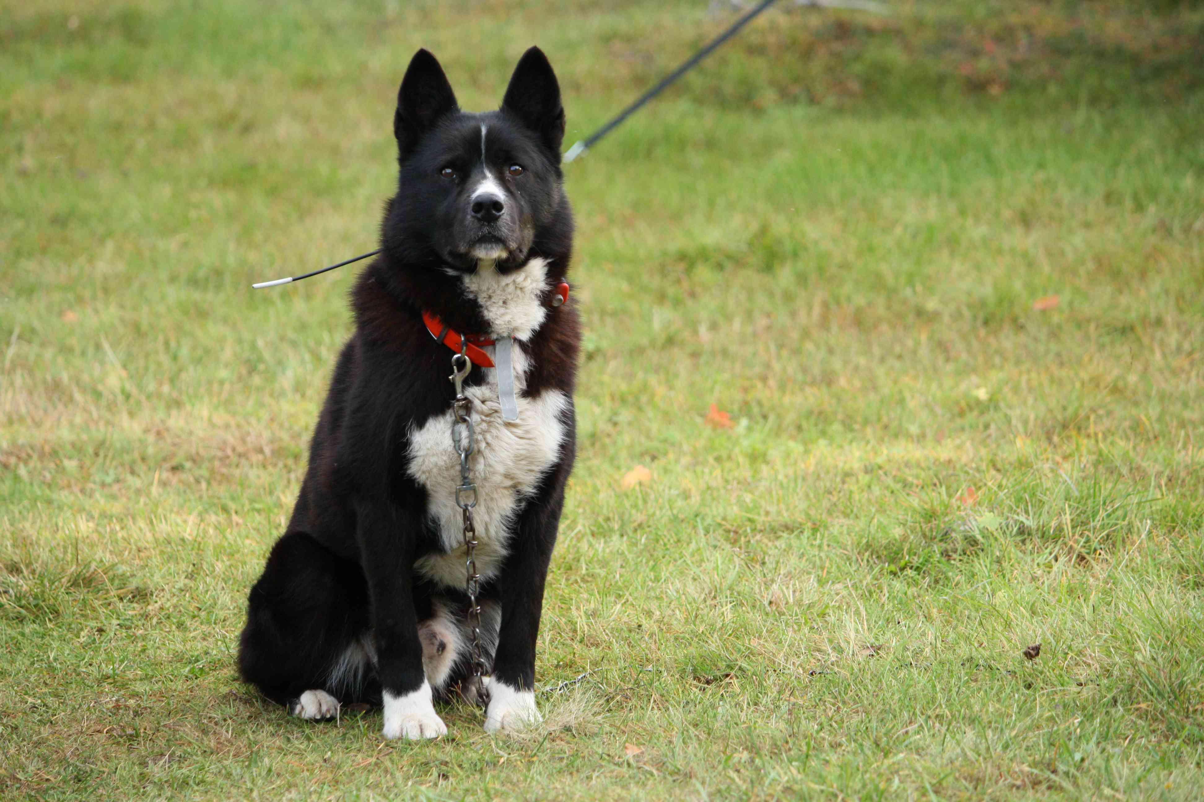 Karelian bear dog standing