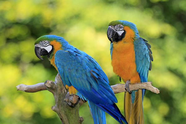 Two blue-and-gold macaws perched on a tree