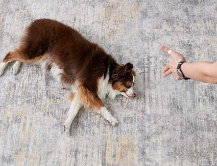 a woman teaching an Australian shepherd to play dead