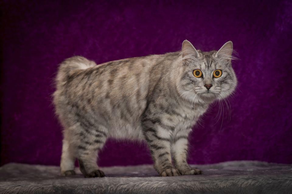 Gato cítrico (Manx de pelo largo)