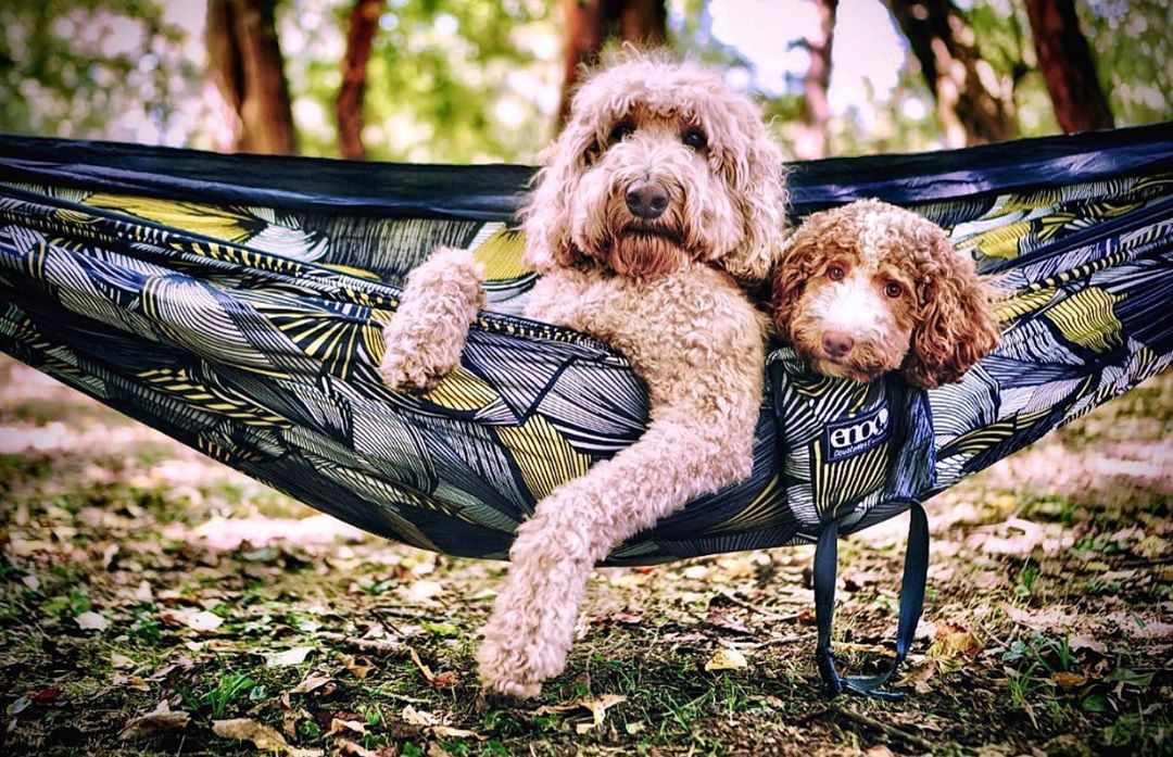 Two dogs in hammock; indythegoldendoodle Instagram