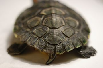 Female red-eared slider backside and tail