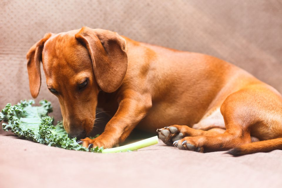 puppy smelling kale