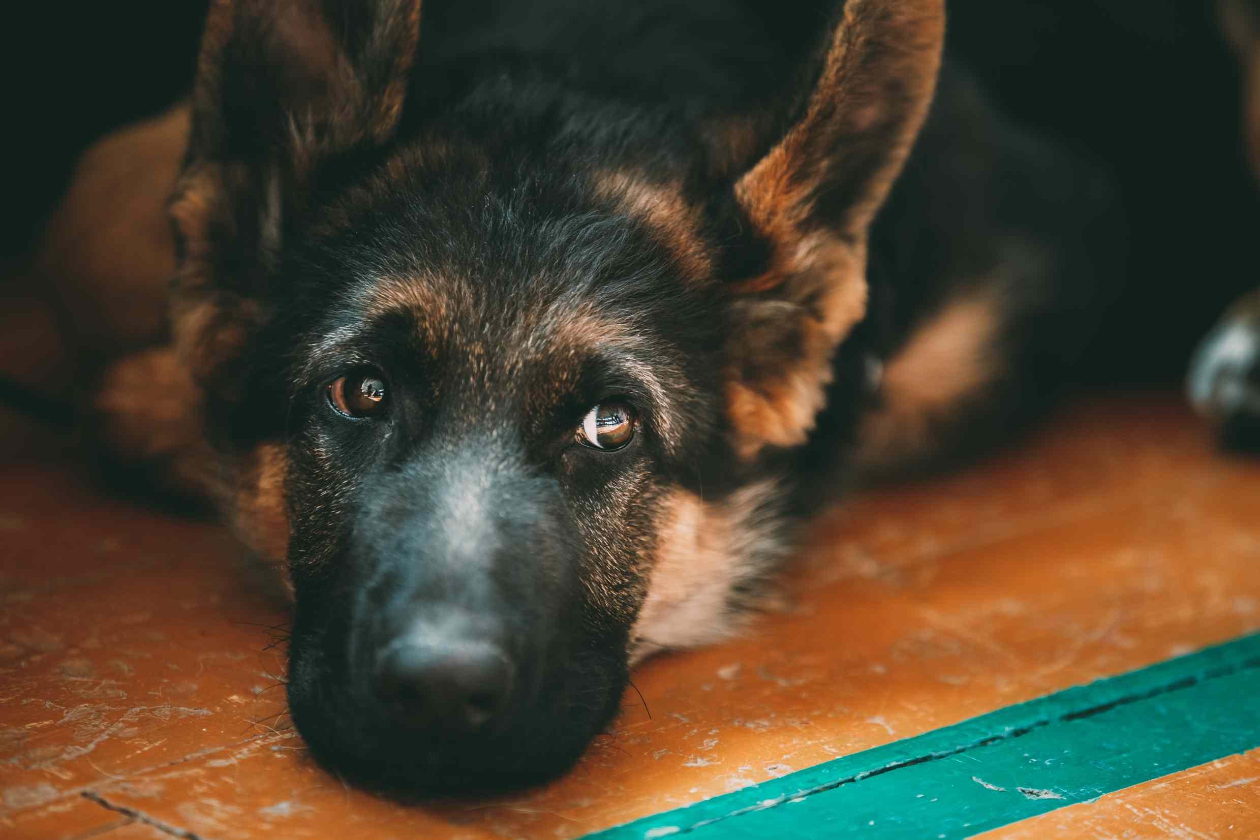 A Kunming Wolfdog resting indoors.