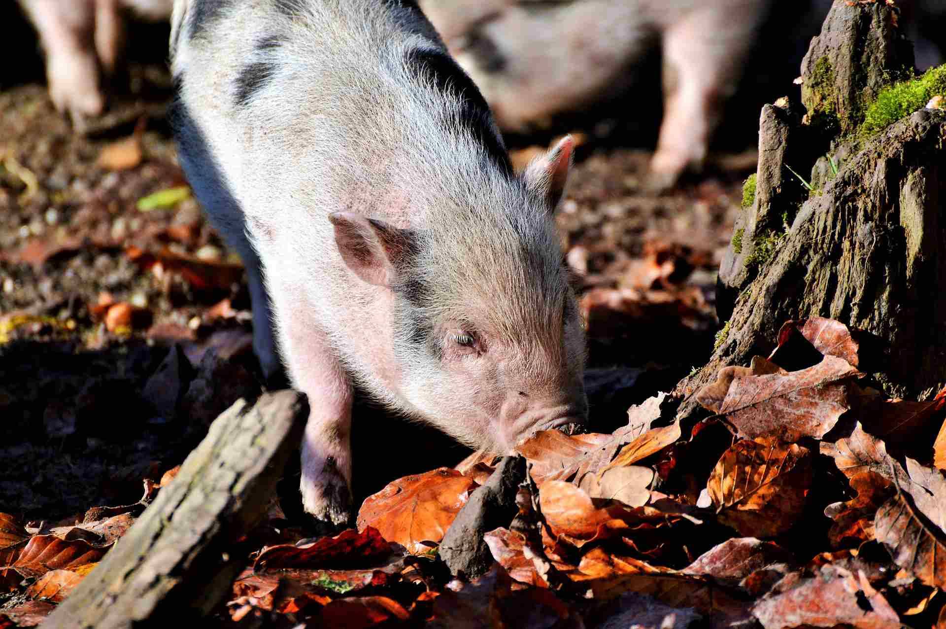 A potbellied pig rooting outdoors.