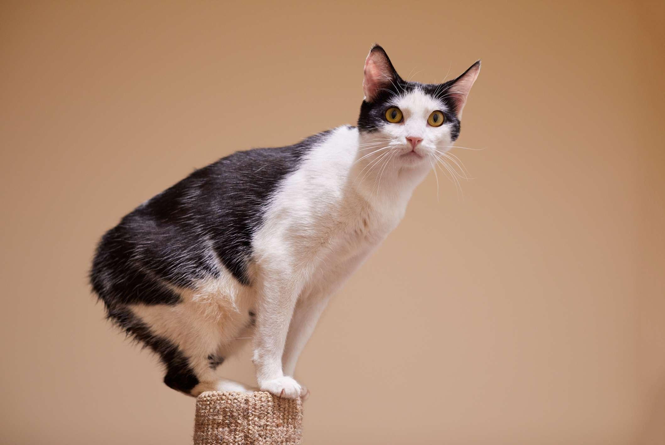 Retrato de raza de gato Manx