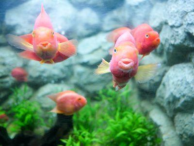 Acriflavine for Aquarium Fish