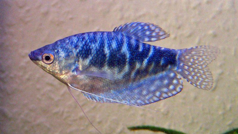 Blue Gourami Fish Species Profile