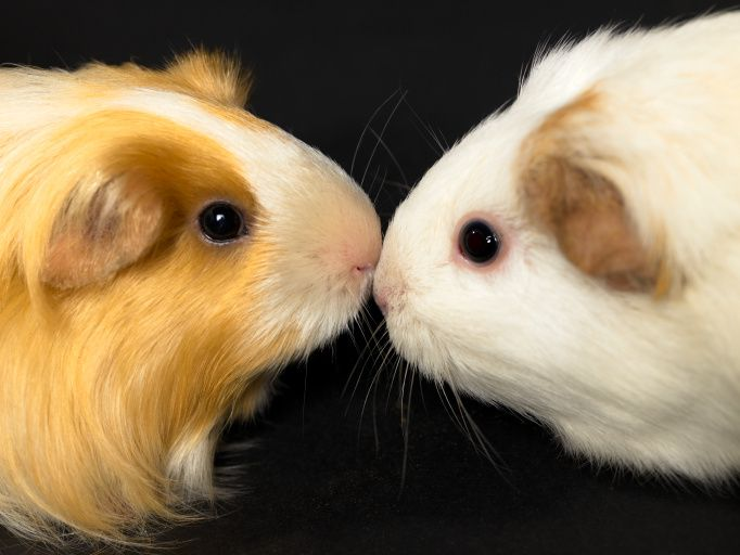 Guinea pigs nose to nose on a black background
