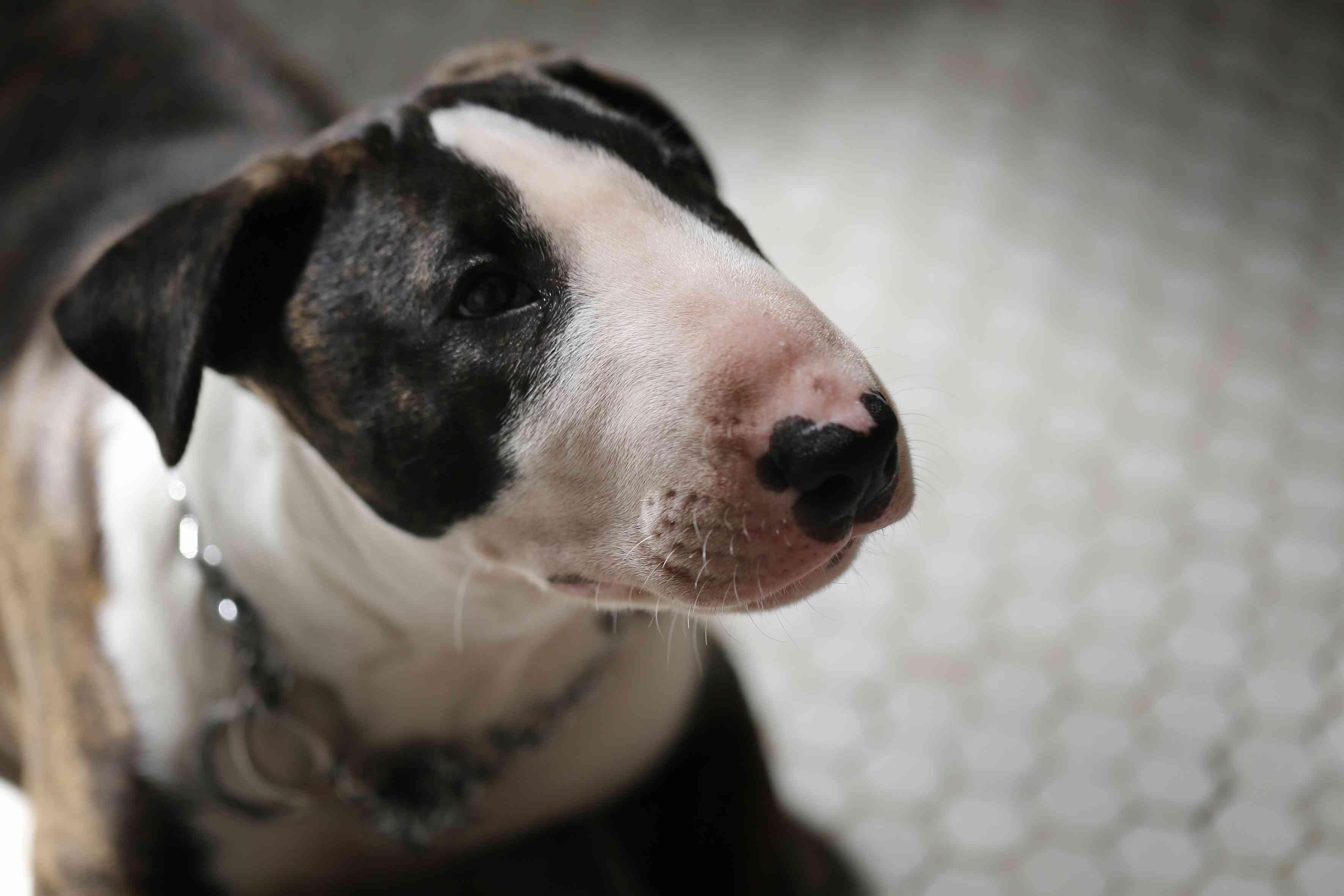 Brindle miniature bull terrier portrait