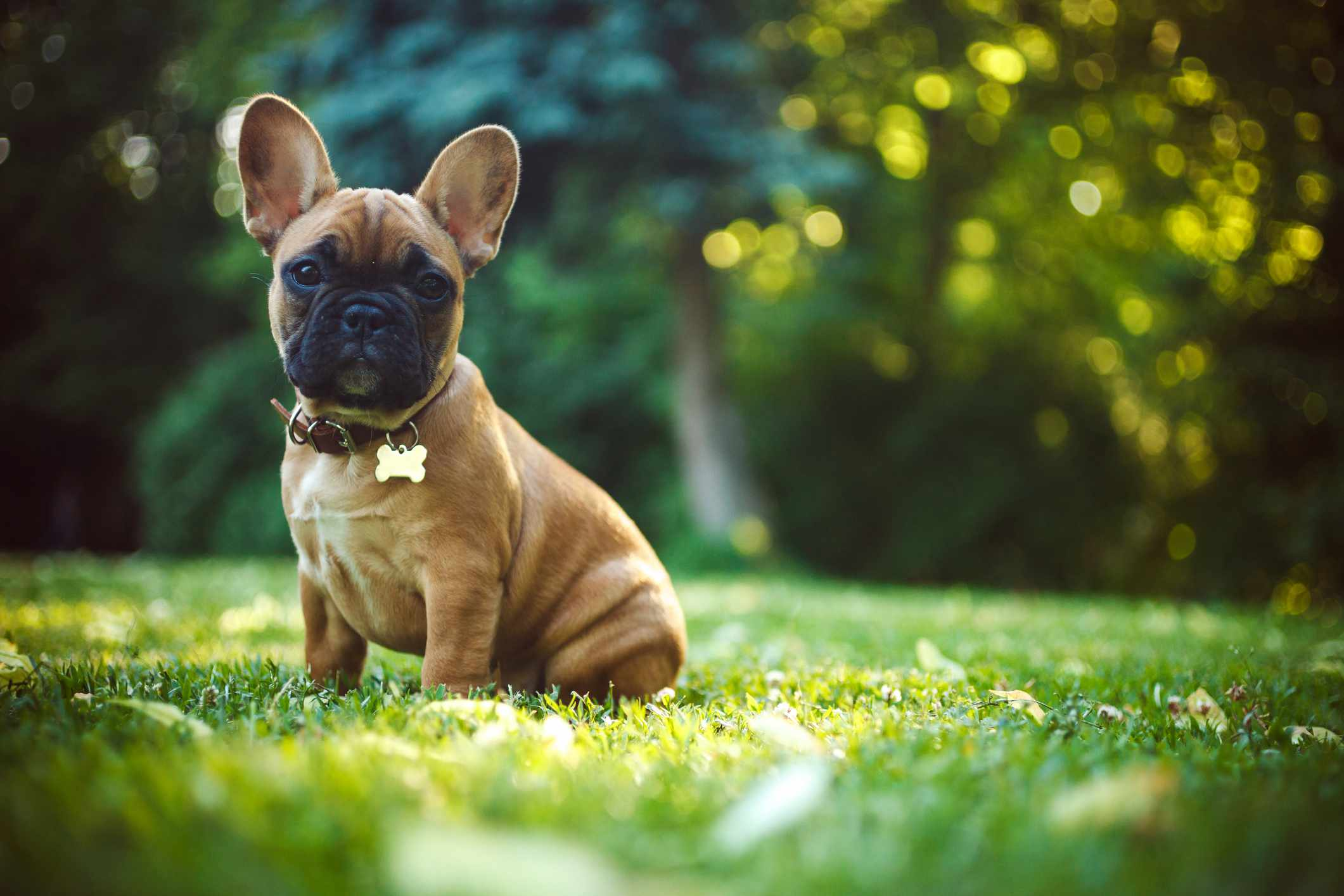 A brown and black Frenchie sitting in the grass.