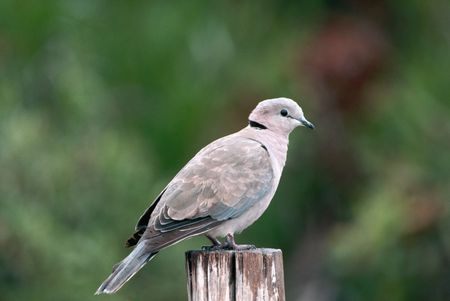 dove bird species profile