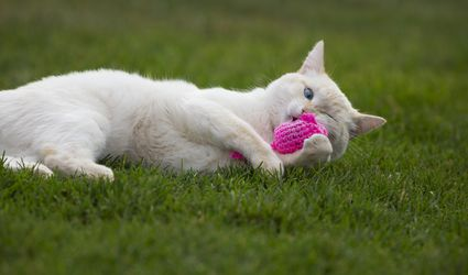 Flame point cat playing with a pink catnip mouse toy in the grass