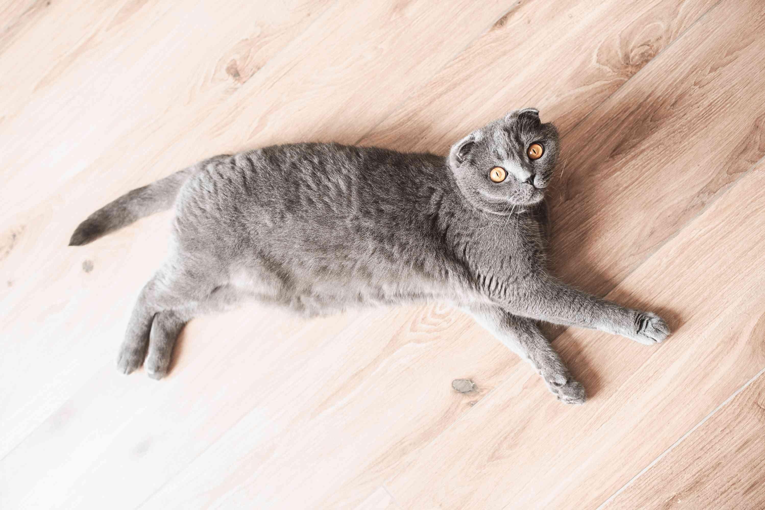 Gray Scottish fold cat laying down on wooden floor