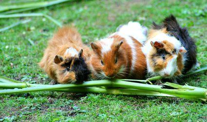 guinea pigs eating veggies