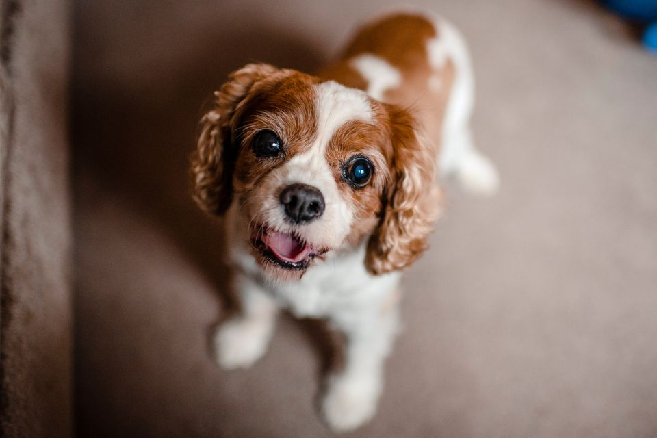 High Angle Portrait Of Cute Cavalier Spaniel Standing At Home