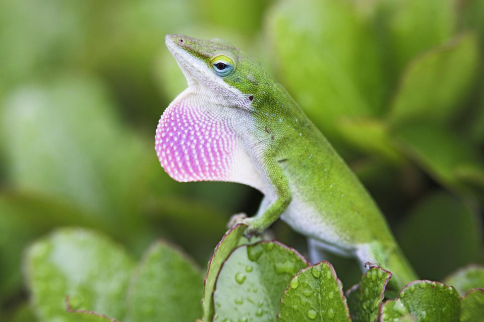 Display Green Anole