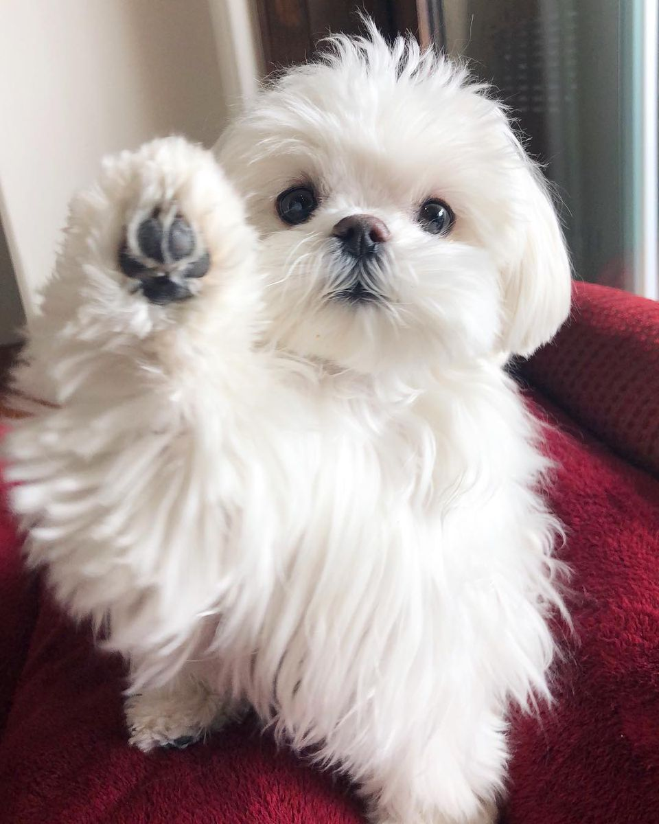 Teacup Dogs For Tiny Canine