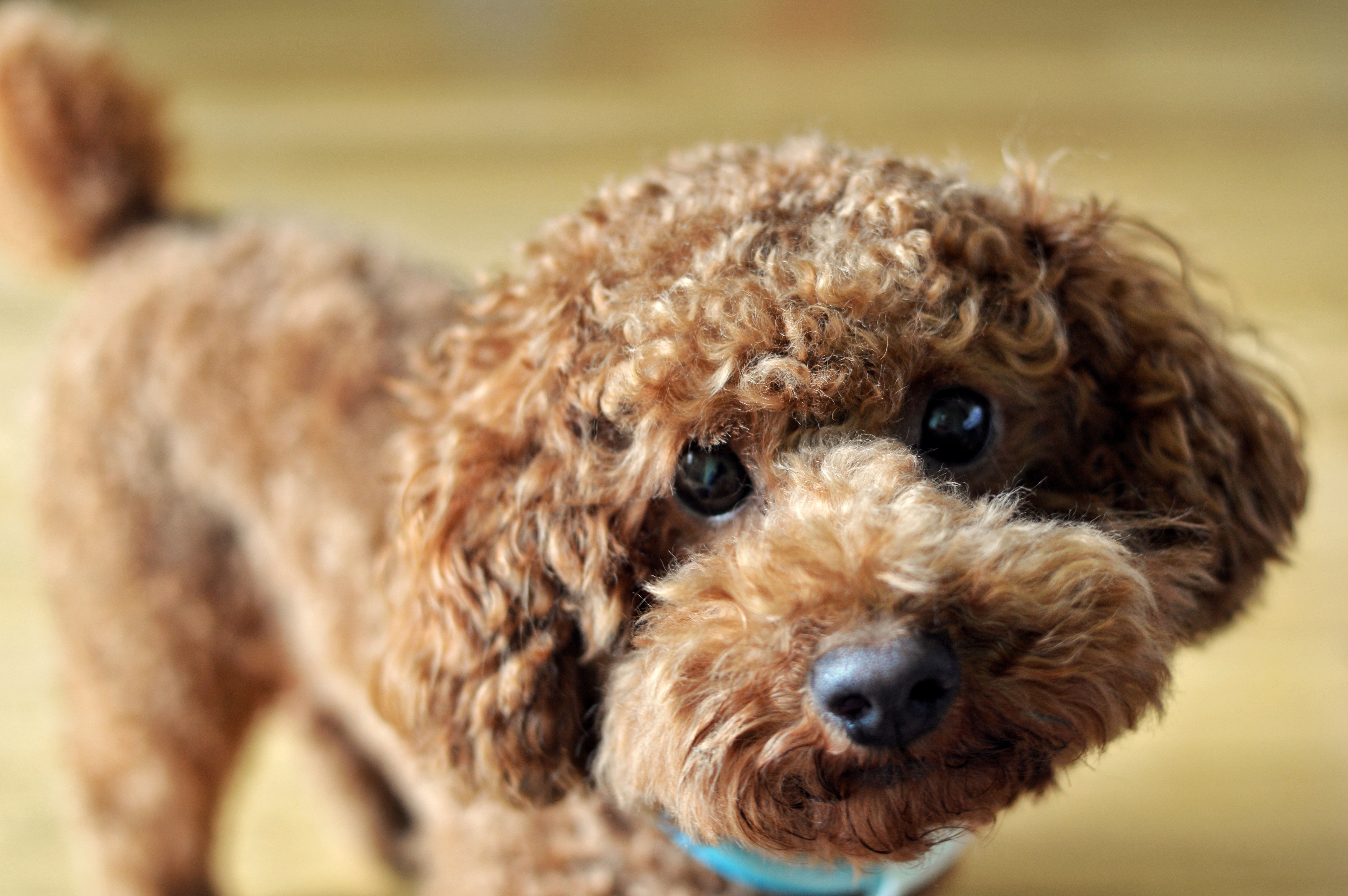 Close-up of toy Poodle