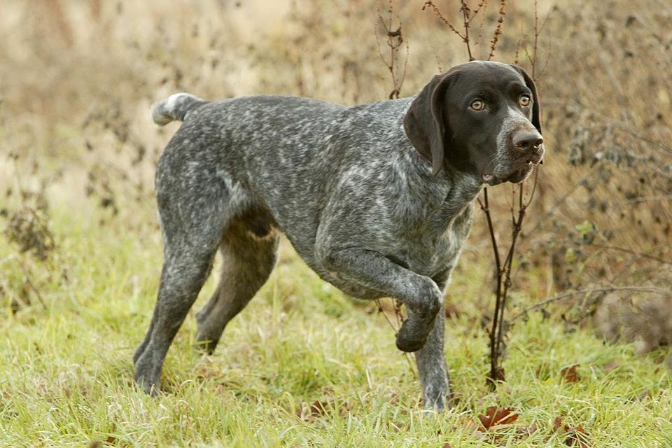 German Shorthaired Pointer (Canis lupus familiaris)