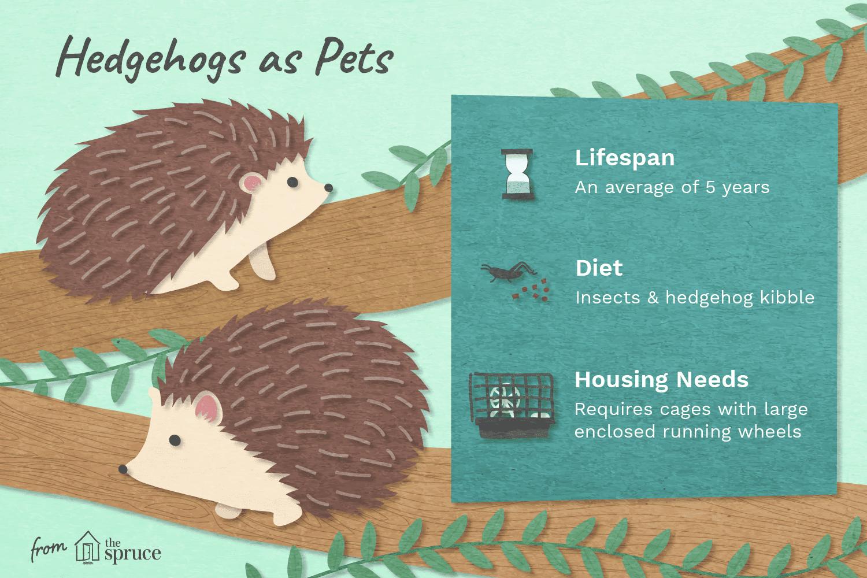 Illustration of hedgehogs