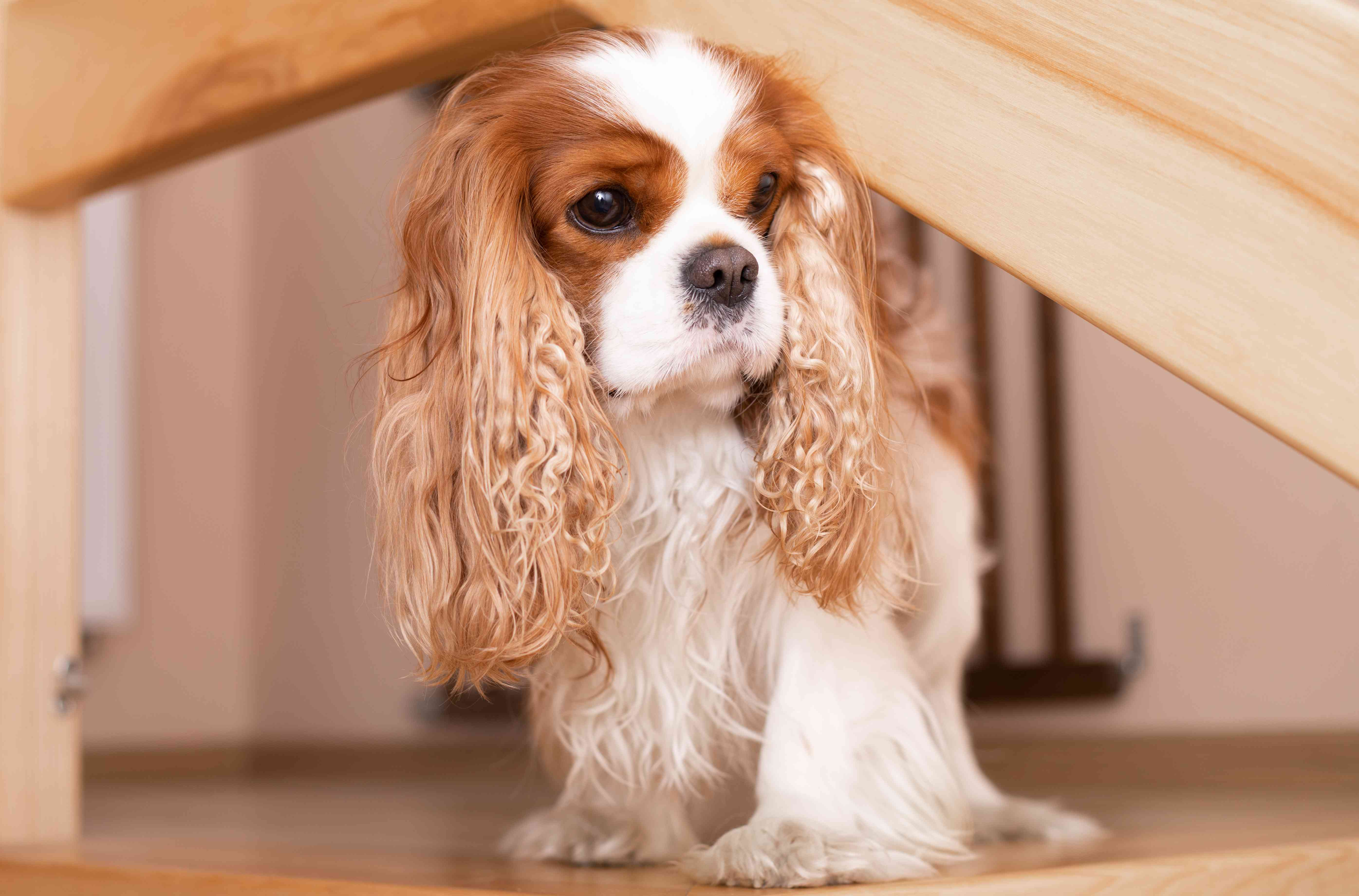 The cute and serious Cavalier King Charles Spaniel is hunting in his house. The dog wrinkled its muzzle funny and prepared to hunt. Close-up photo.