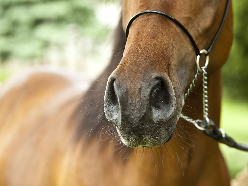 bumps on horse's nose